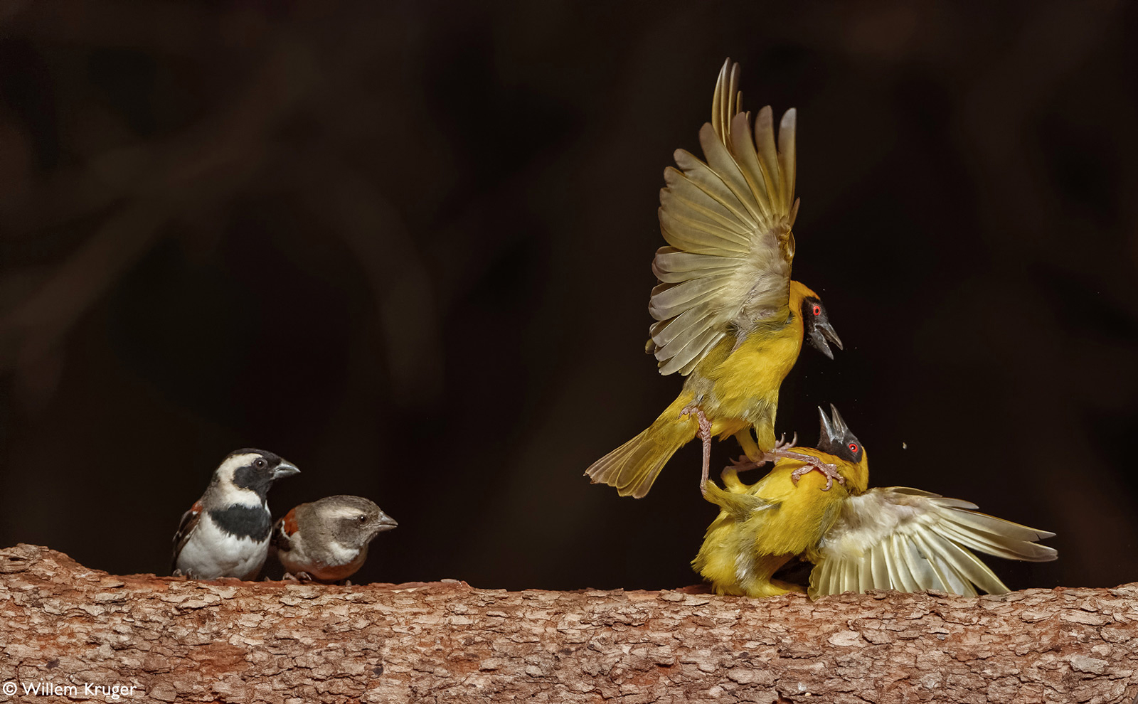 Two male southern masked weavers fight to establish dominance while sparrows watch on. Bloemfontein, South Africa © Willem Kruger