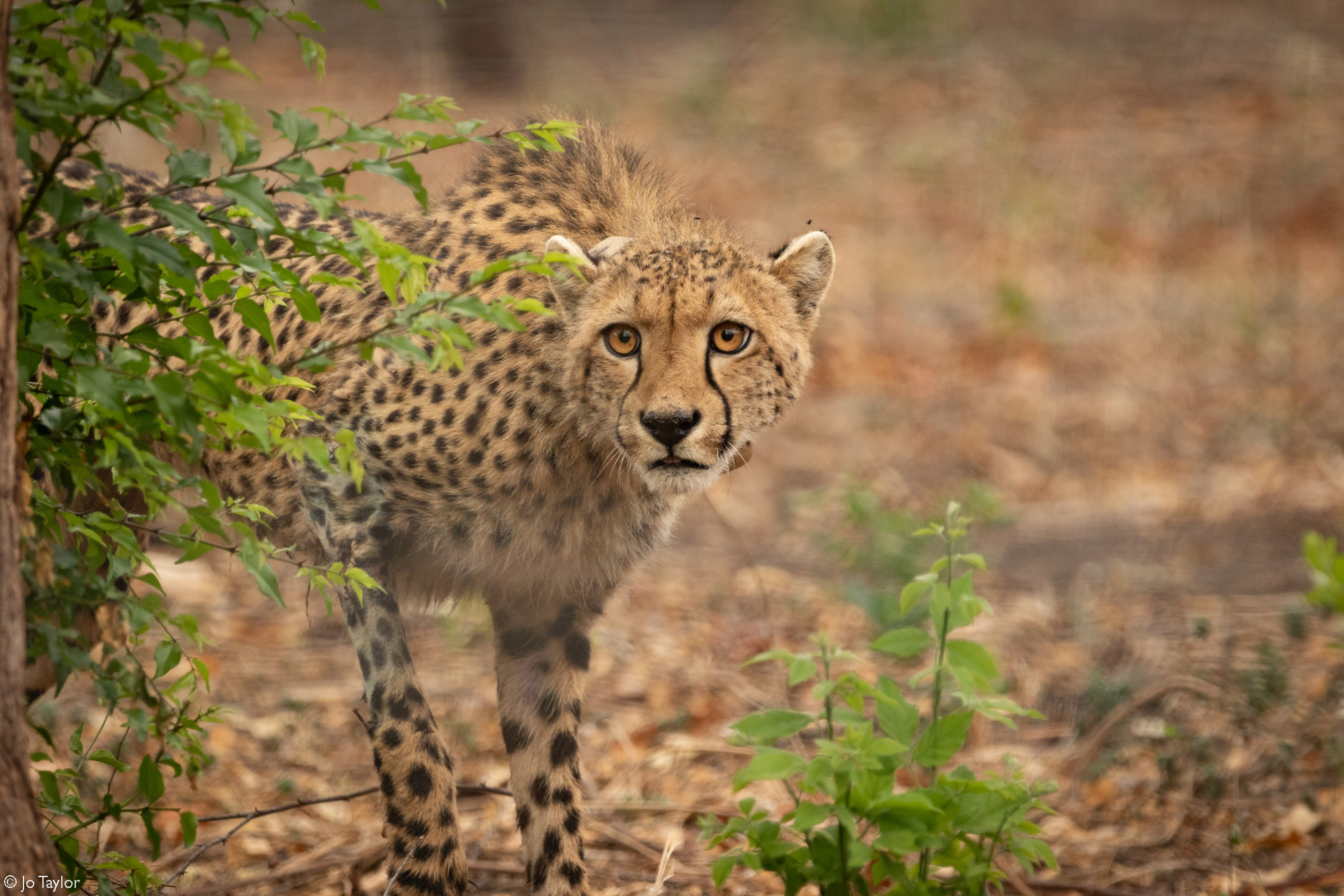The female cheetah that we drove for over 55 hours cautiously explores her new home © Jo Taylor