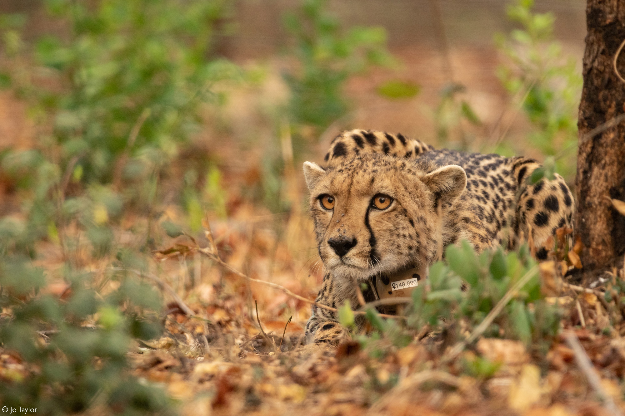 The female cheetah, named Samara, remains cautious and on alert after being released into her new home in Majete Wildlife Reserve in Malawi © Jo Taylor