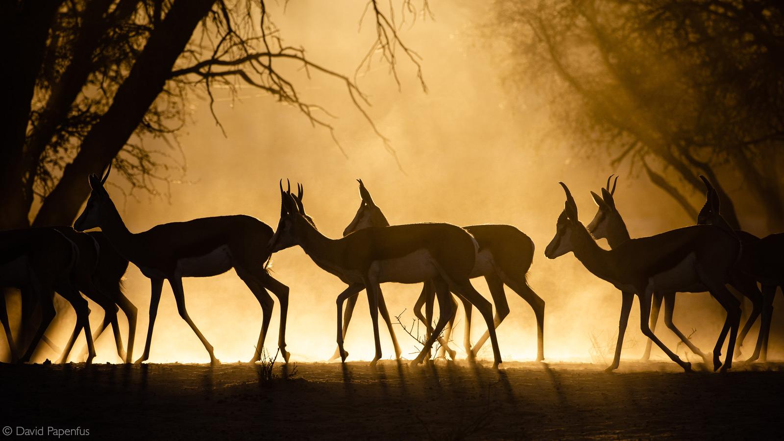 Springbok at a dusty sunrise. Kgalagadi Transfrontier Park, Botswana © David Papenfus