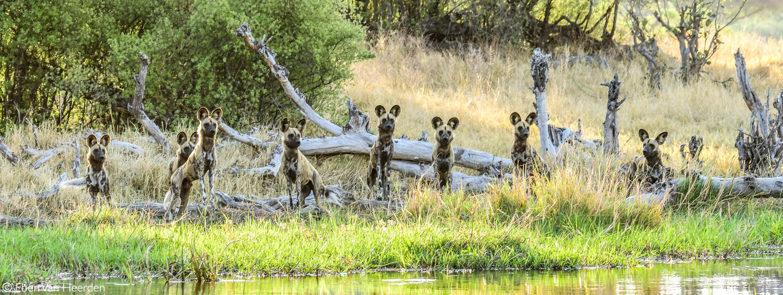 A pack of painted wolves (African wild dogs) watch a herd of impala on the other side of the Khwai River. Okavango Delta, Botswana © Eben Van Heerden