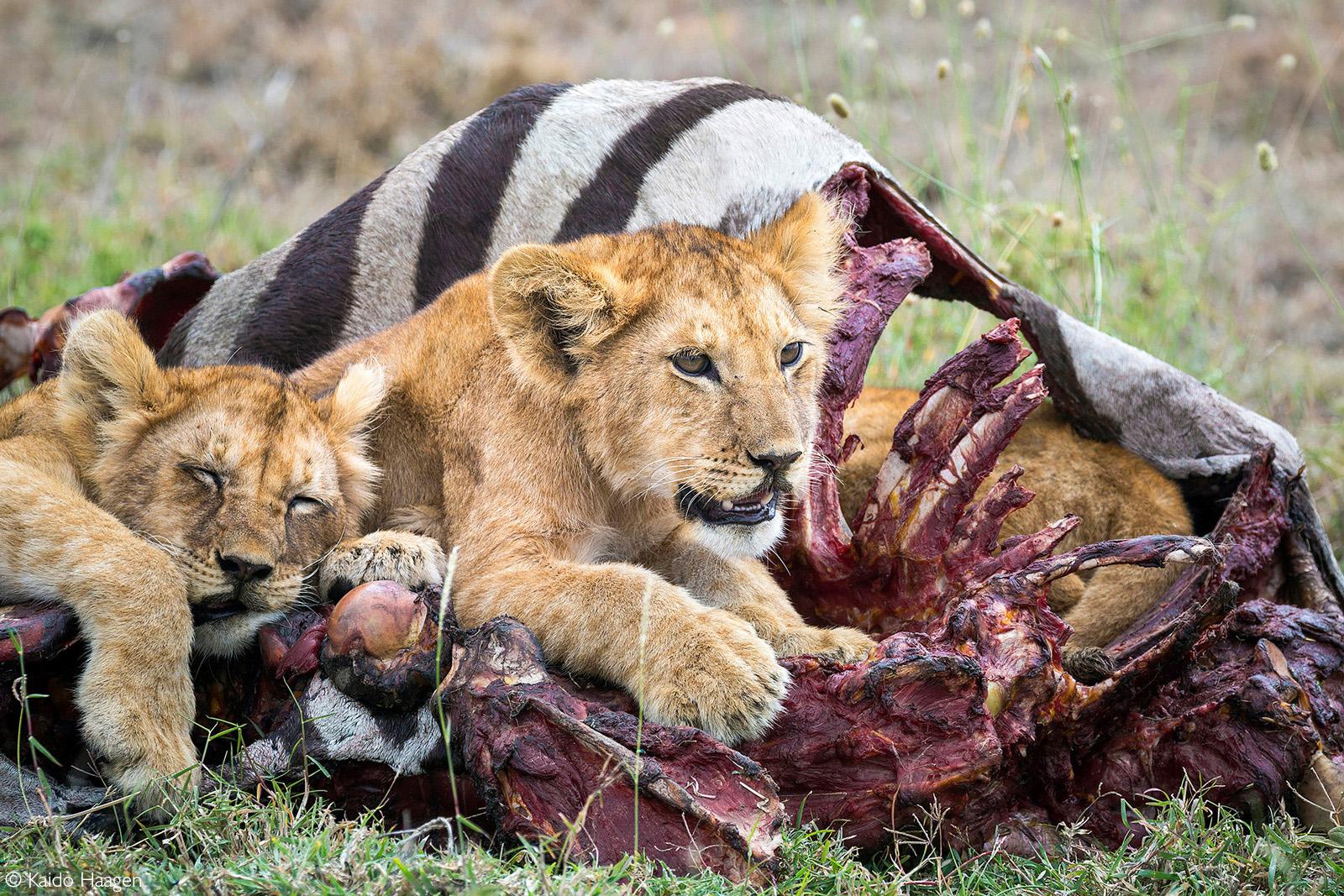 Lion cubs rest after having a zebra meal. Serengeti National Park, Tanzania © Kaido Haagen