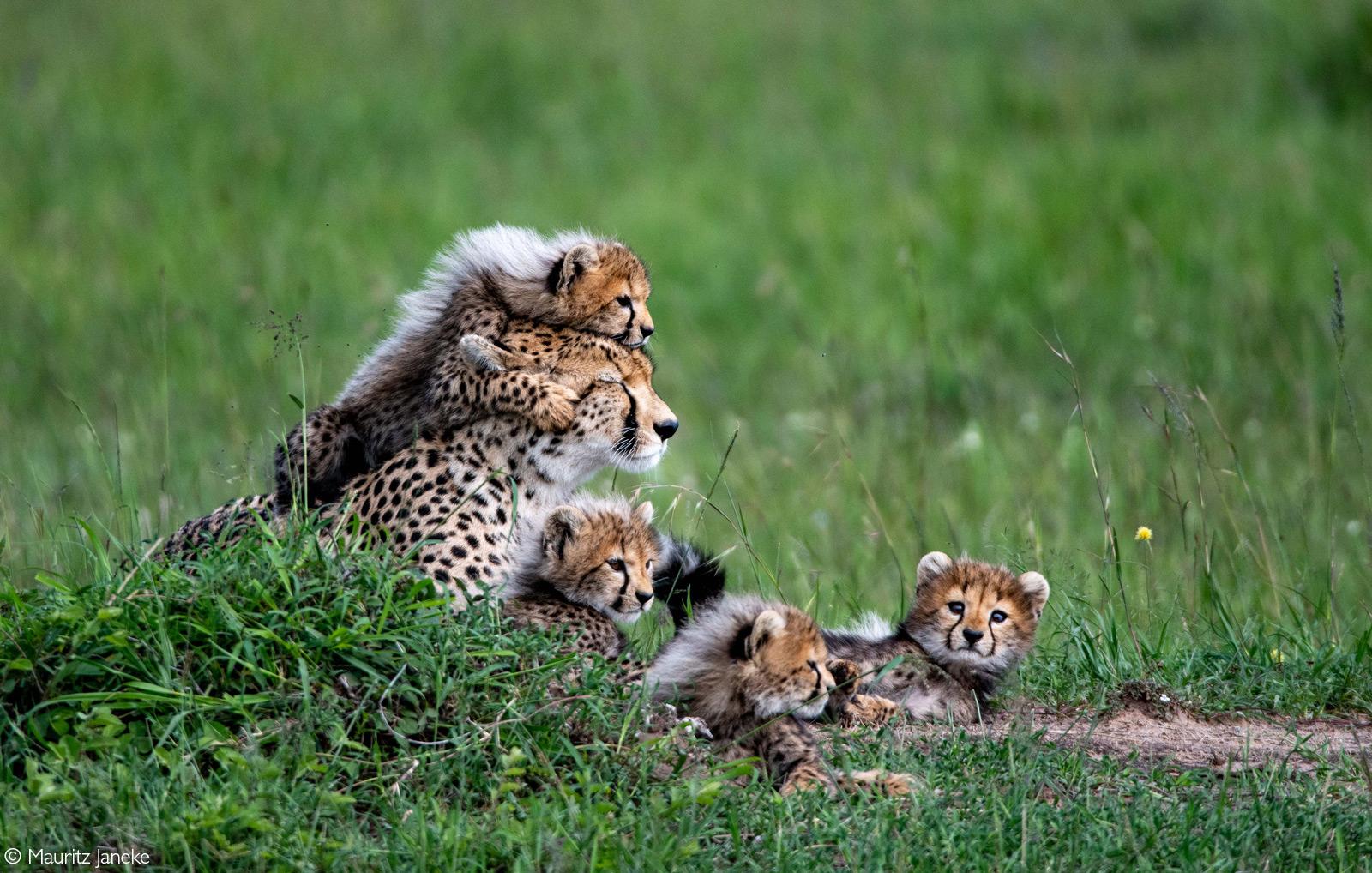 A moment captured with Siligi the cheetah and four of her seven cubs. Maasai Mara National Reserve, Kenya © Mauritz Janeke